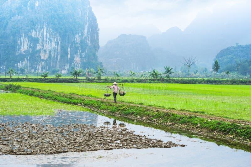 Vietnamesisk bonde som arbetar på risfältet binhninh vietnam royaltyfri foto