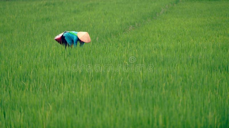 Vietnamesisk kvinna i risfält arkivfoton