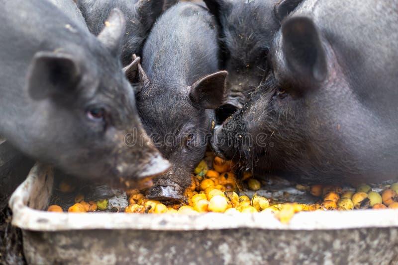 Vietnamesiska svin äter aprikors från ho royaltyfri foto