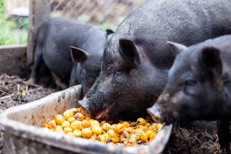 Vietnamesiska svin äter aprikors från ho royaltyfri fotografi