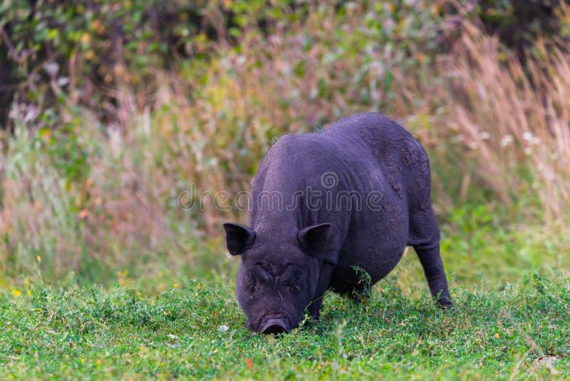 Vietnamesiskt Kruka-buktat svin på gräs arkivfoton