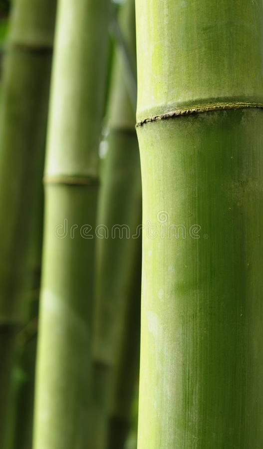 Bambo tree stock images