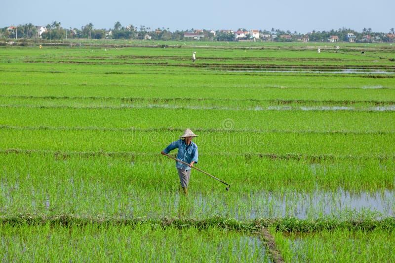 Vietnan, Hoi An, febrero de 2015 el granjero que planta en las tierras de labrantío orgánicas del arroz de arroz imágenes de archivo libres de regalías