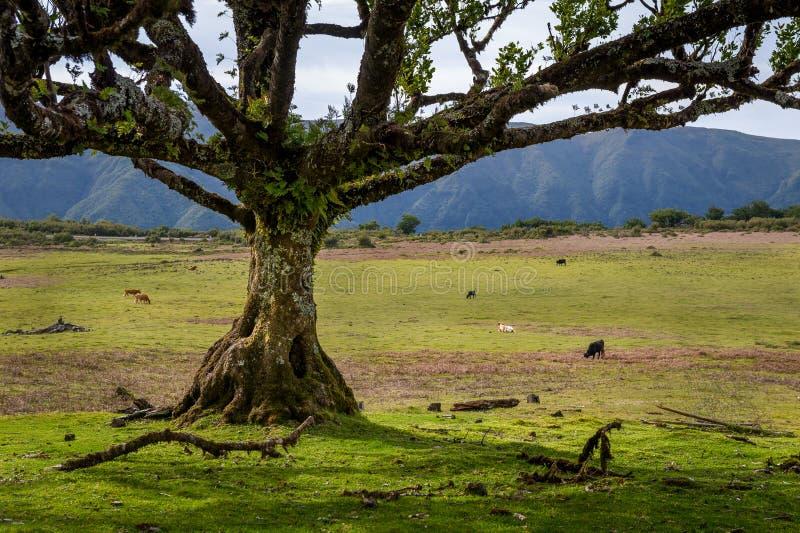 Vieux arbre et vaches aux champs du parc national de Fanal, île de la Madère images libres de droits