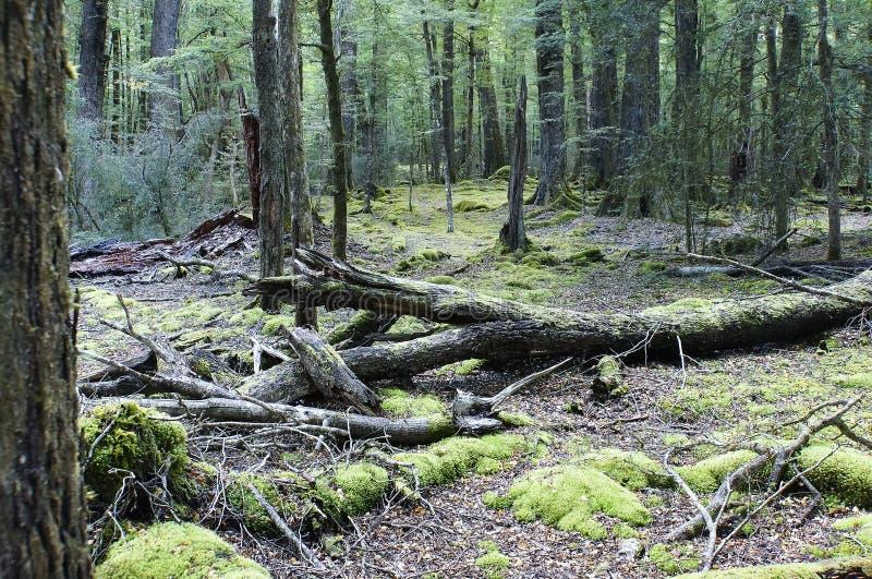 Vieux arbres avec mousse dans la forêt tropicale photo stock