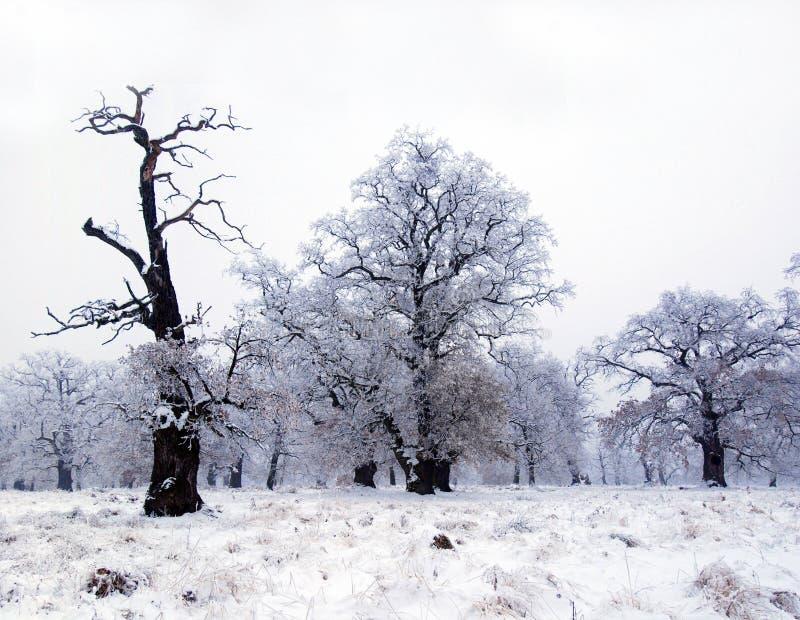 Vieux arbres de chêne en hiver   images stock