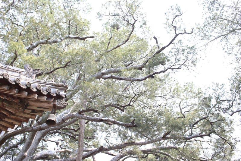 Vieux arbres très hauts dans le temple images libres de droits