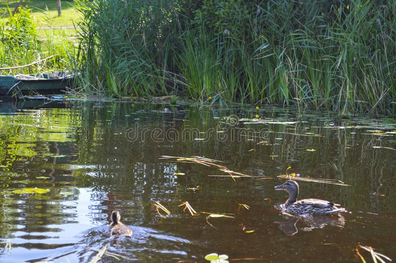 Vieux bateau cassé délabré minable en bois pour nager sur les banques de la rivière, du lac, de la mer dans l'herbe et des roseau photo libre de droits