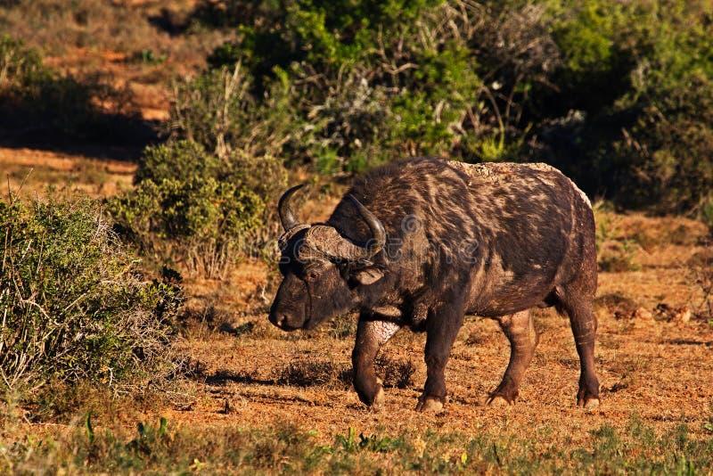 Vieux buffle marqué de taureau marchant dans le début de la matinée photographie stock