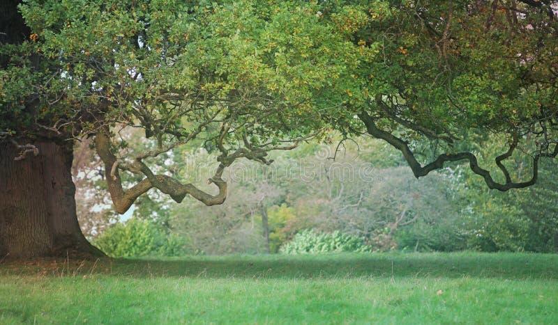 Vieux chêne rocailleux avec la branche tordue photos stock