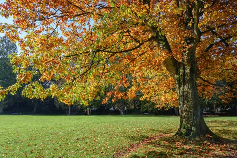 Vieux chêne rouge Quercus rubra aux feuilles d'automne colorées dans un parc, paysage saisonnier, espace photographique photo stock