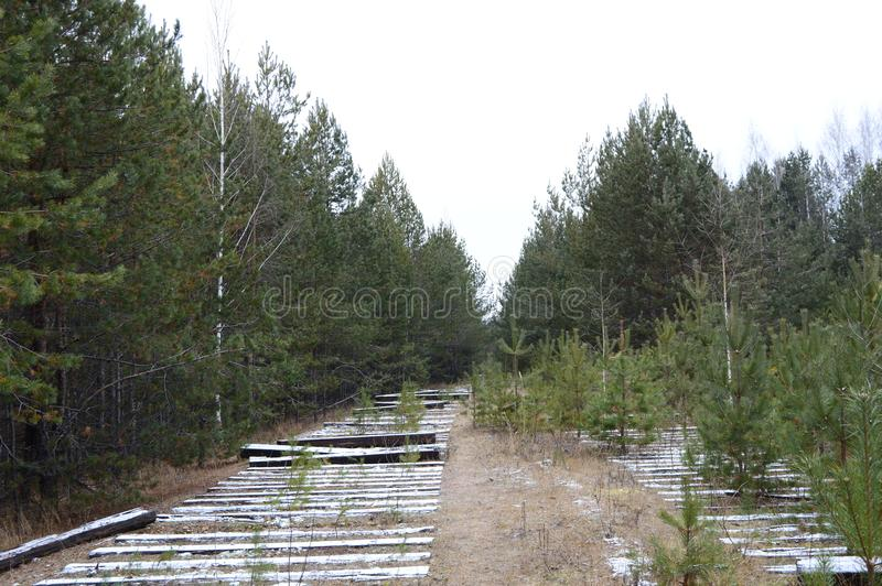 Vieux chemin de fer dans une forêt de pin photographie stock libre de droits
