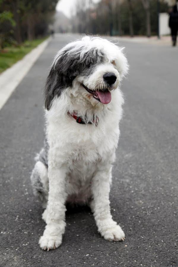 Vieux chien de berger anglais photos stock