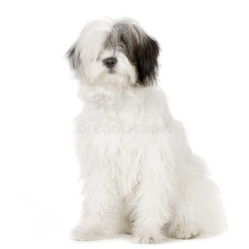 Vieux chien de berger anglais photos libres de droits