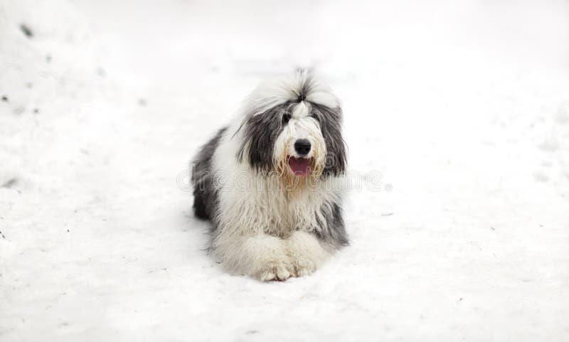 Vieux chien de berger ou queue écourtée anglais se reposant sur la neige image libre de droits