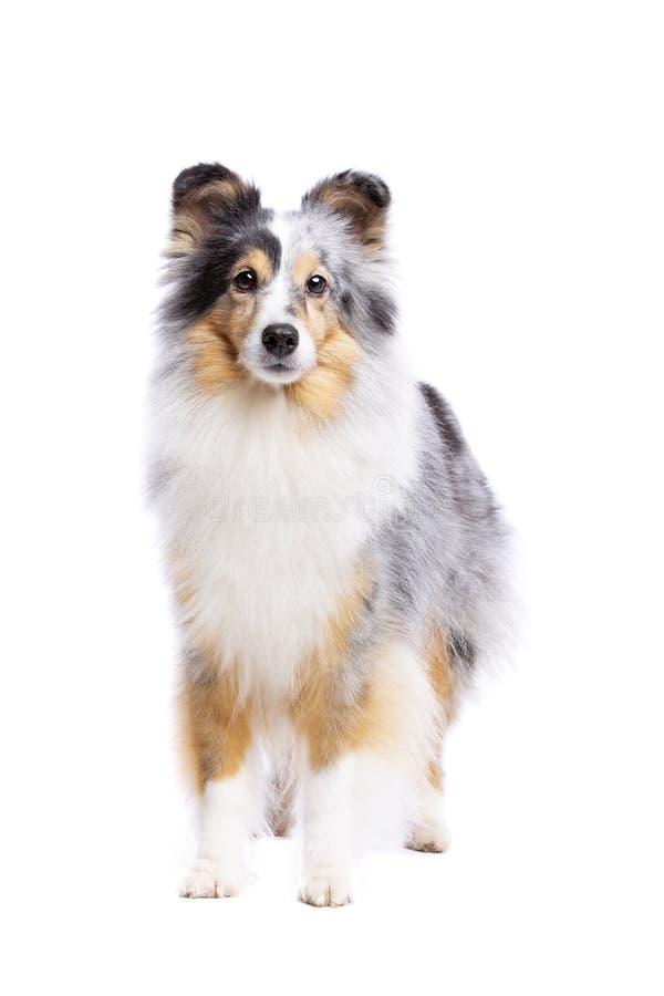 Vieux chien de berger de Shetland photo stock