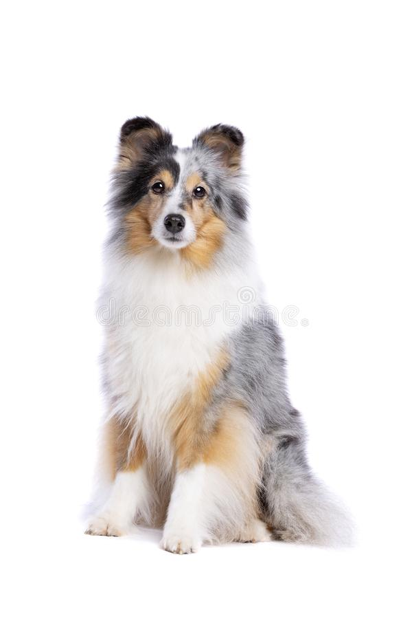 Vieux chien de berger de Shetland photo libre de droits