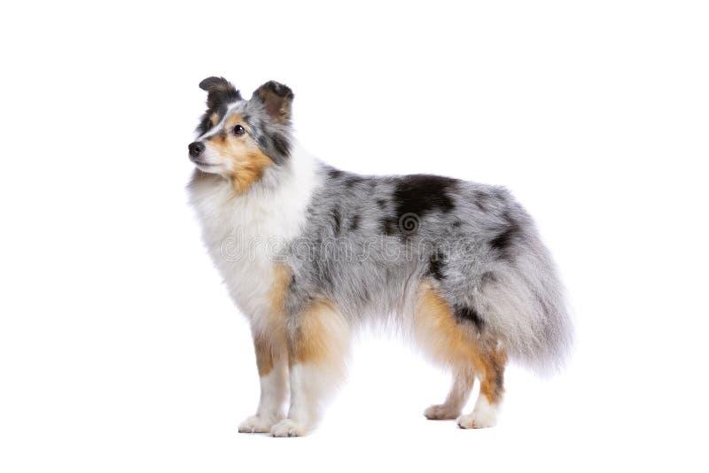 Vieux chien de berger de Shetland image libre de droits