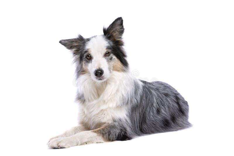 Vieux chien de border collie photos libres de droits