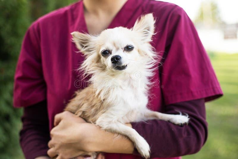 Vieux chien de chiwawa avec le vétérinaire images stock