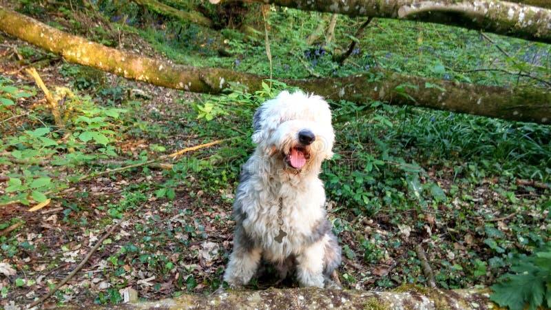 Vieux chien de moutons anglais dans la forêt photographie stock libre de droits