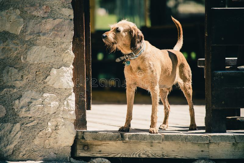 Vieux chien gardant en Lago Ghedina, un lac alpin dans Cortina d'Ampezzo, dolomites, Italie photos stock