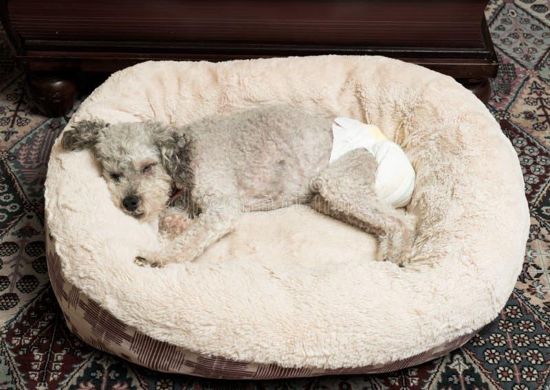 vieux chien gris utilisant une couche culotte de chienchien image stock image du incontinence. Black Bedroom Furniture Sets. Home Design Ideas