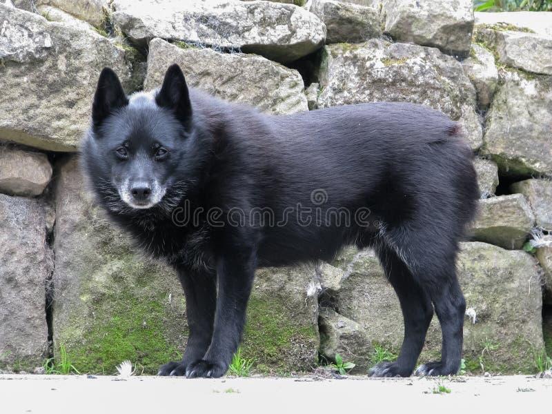 Vieux chien grisonnant de Schipperke se tenant prêt le mur de pierres sèches images libres de droits