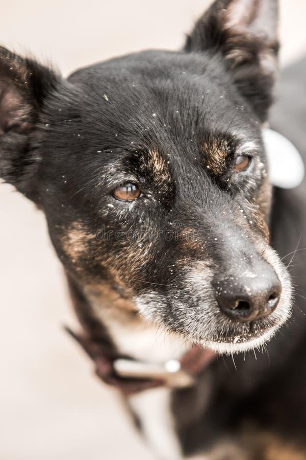 Vieux chien noir mignon sur une plage en Ecosse photos libres de droits