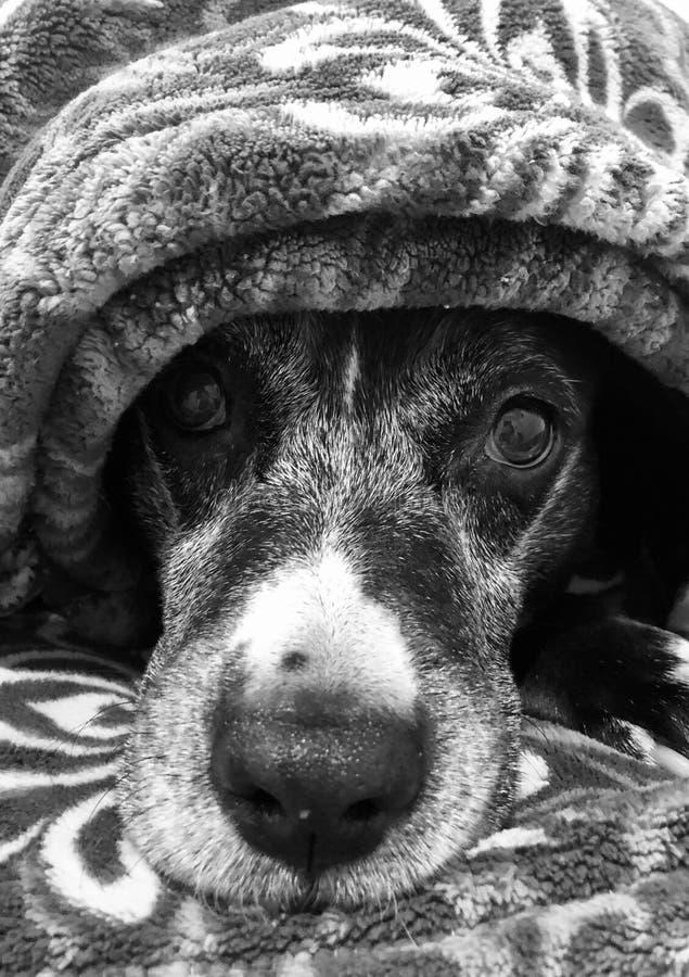 Vieux chien sous la couverture photo stock