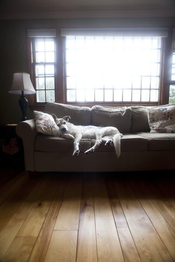 Vieux Chien Sur Le Sofa De Salon Photo libre de droits