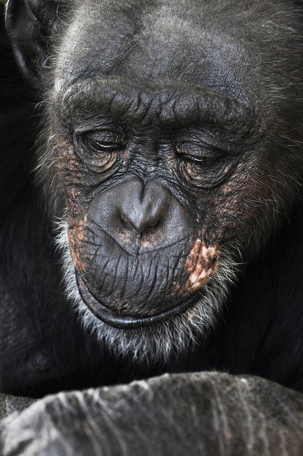 Vieux chimpanzé, pensant à la vie images stock