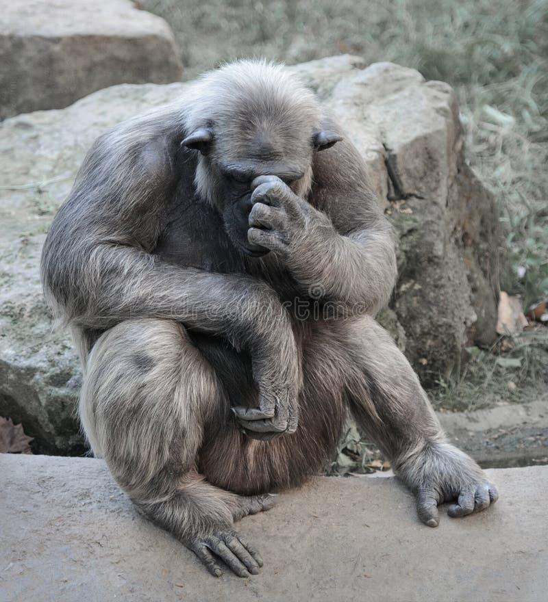 Vieux chimpanzé profondément dans les pensées ou la peine image libre de droits