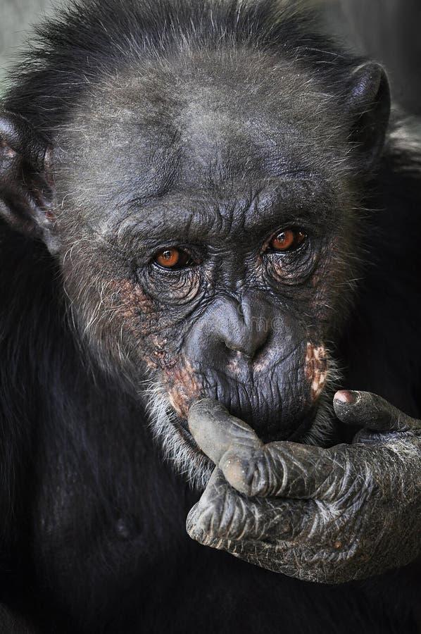 Vieux chimpanzé regardant dans vos yeux photographie stock libre de droits