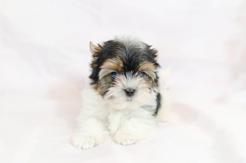 Vieux chiot de deux mois Biewer-Yorkshire Terrier images libres de droits