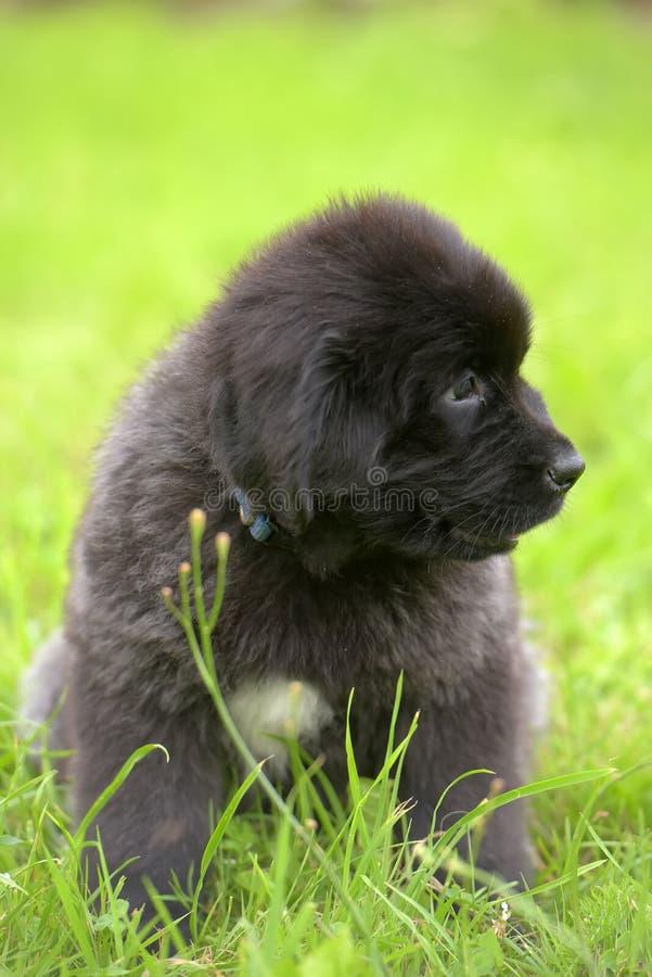 Vieux chiot de deux mois noir mignon de Terre-Neuve photos libres de droits