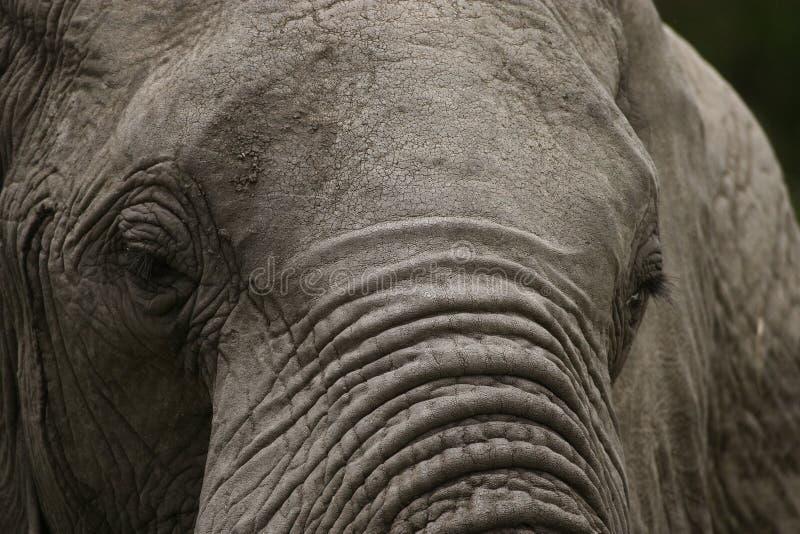Vieux, croustillant éléphant photo stock