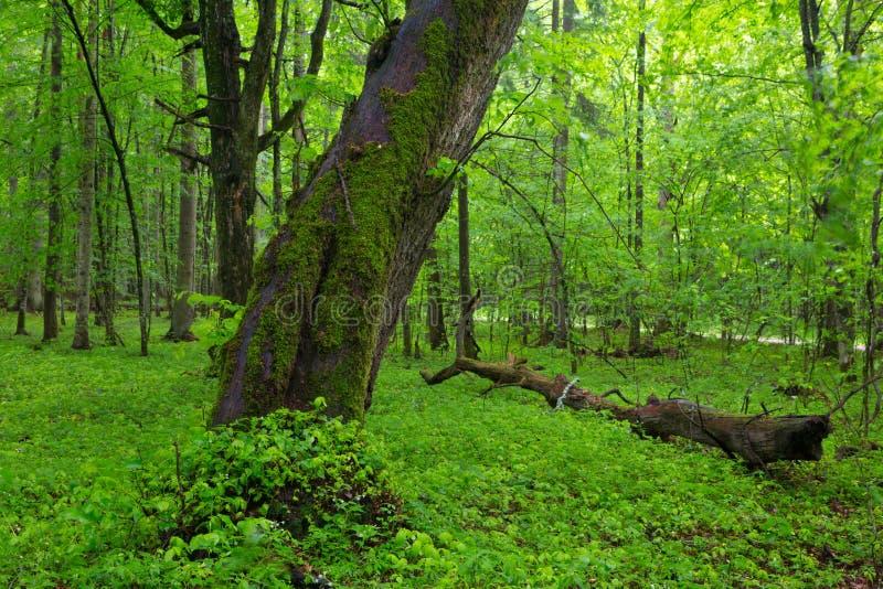 Vieux enveloppés par mousse inden l'arbre au printemps photo stock