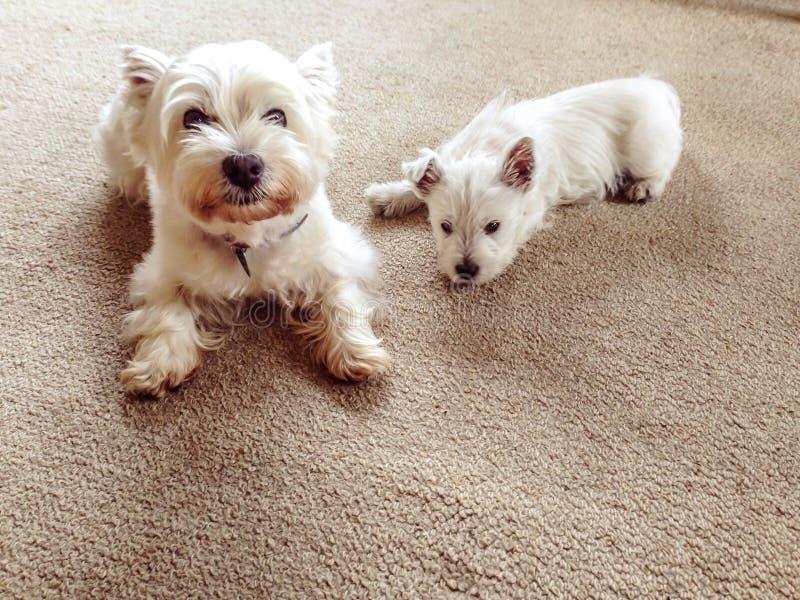 Vieux et jeune : chien des montagnes occidental supérieur de terrier avec le pupp de westie image libre de droits