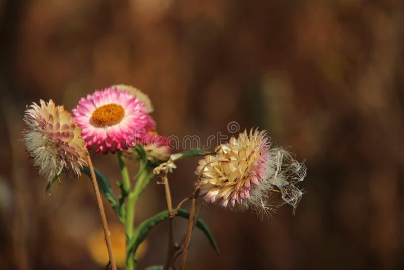 Vieux et jeune Straw Flower With Blurs Background photographie stock