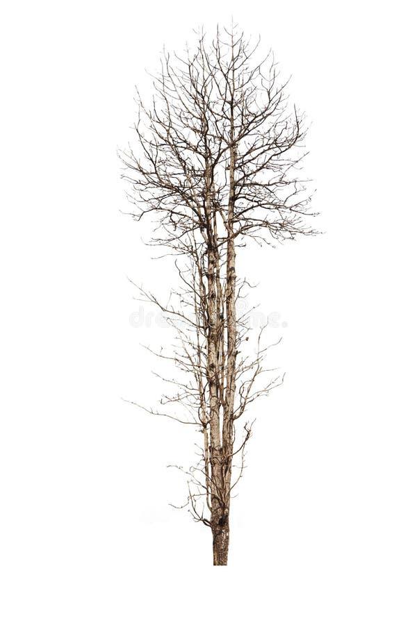 Vieux et mort arbre d'isolement sur le fond blanc image libre de droits