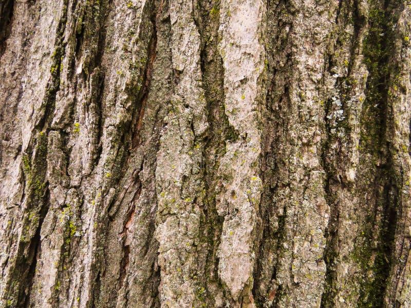 Vieux fond texturisé d'écorce d'arbre photos libres de droits