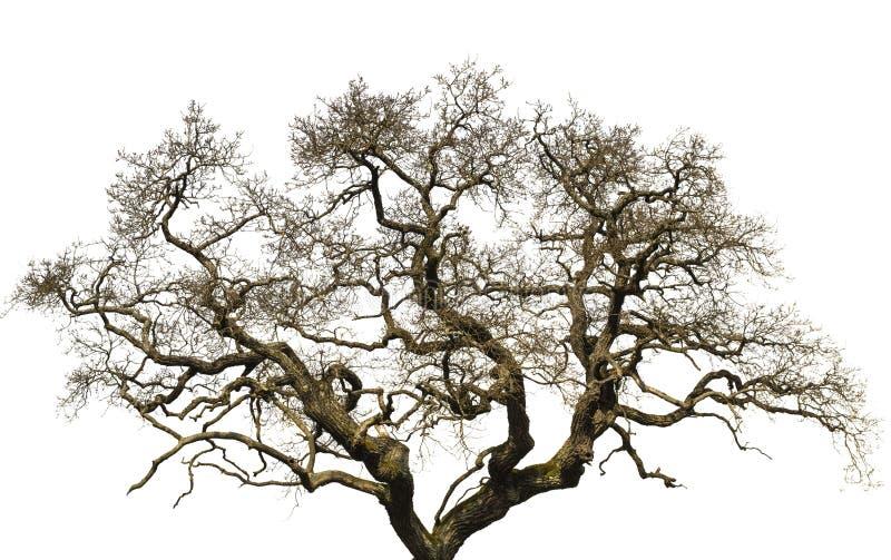 Vieux grand arbre d'isolement avec le fond blanc photographie stock