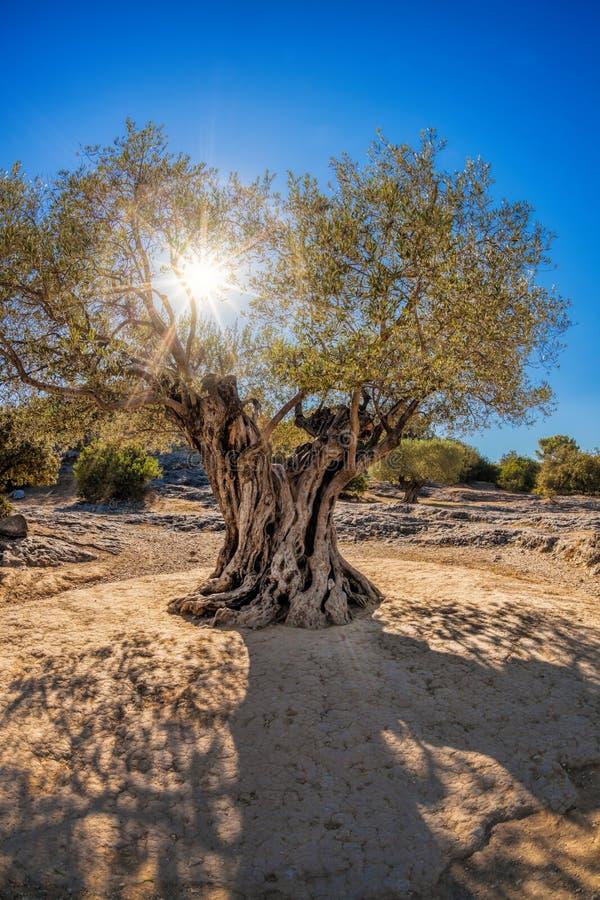 Vieux grand olivier contre le coucher du soleil en Provence, France photographie stock libre de droits