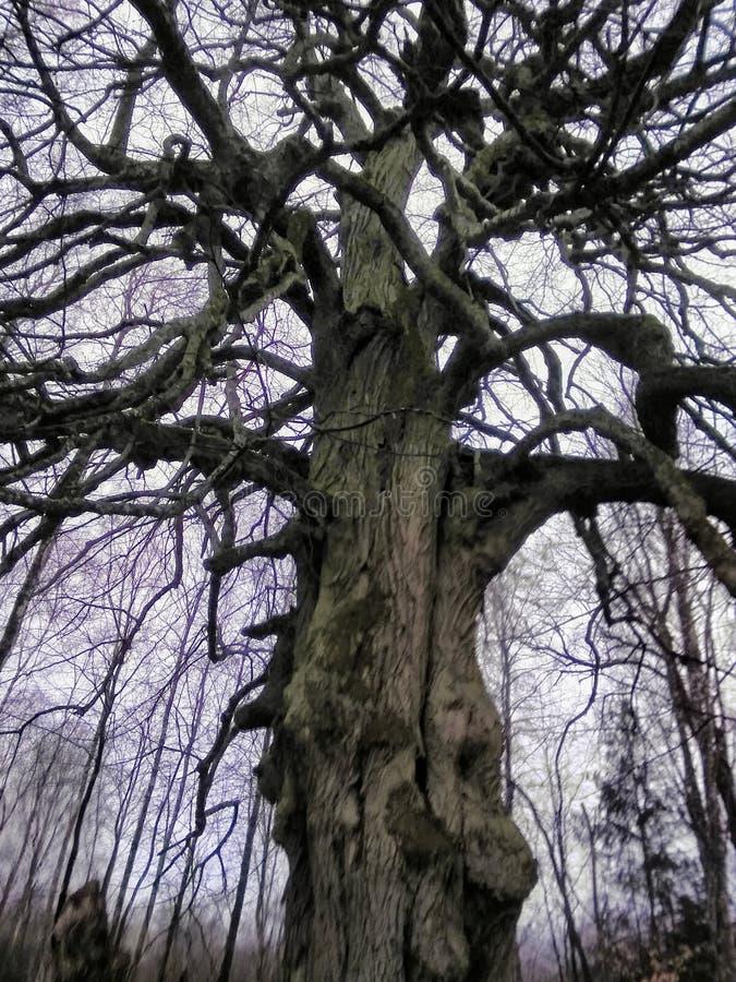 Vieux grands arbres dans la forêt images libres de droits