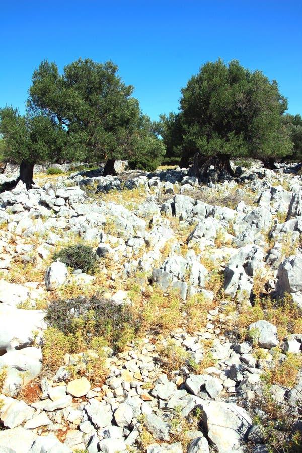 Vieux jardin d'olivier dans Lun photo stock