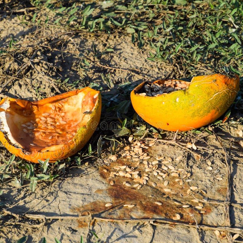 Vieux melon putréfié coupé Un champ abandonné des pastèques et image libre de droits