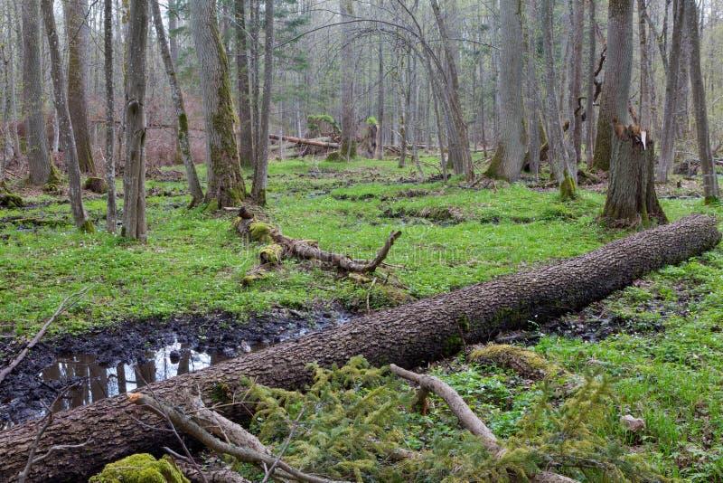Vieux mensonge cassé d'arbre d'aulne au printemps forêt image stock