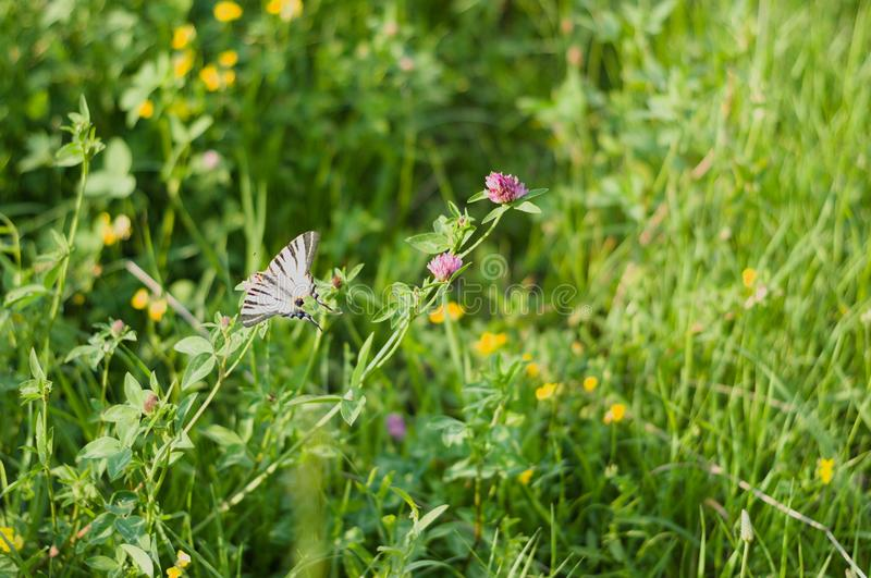 Vieux Monde Swallowtail images stock