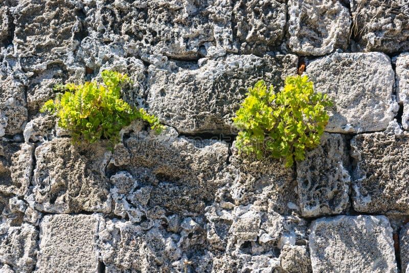 Vieux mur en pierre avec deux buissons verts image stock